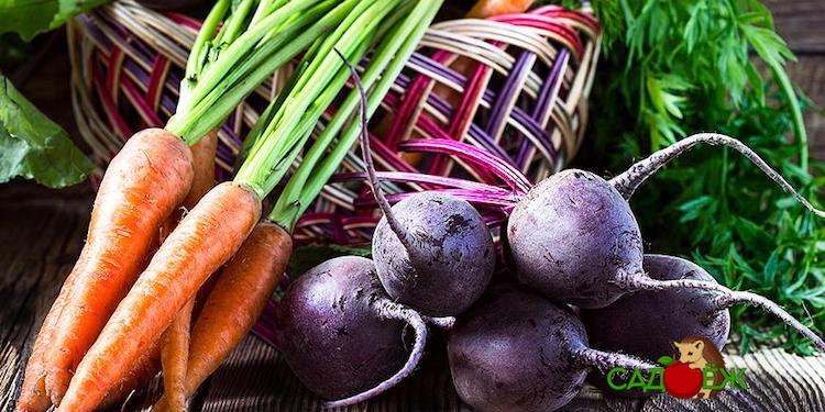 Когда убирать морковь и свеклу с грядки на хранение?
