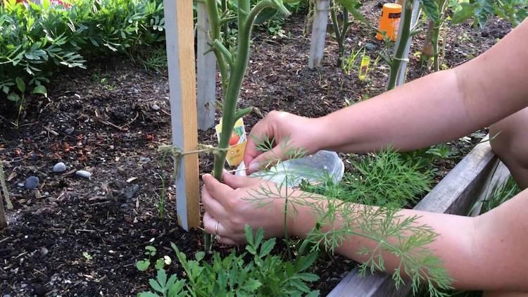 Как правильно протыкать томаты медной проволокой?