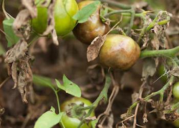 Обработка помидоров молоком и йодом против фитофторы