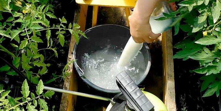 Обработка томатов молоком и йодом против фитофторы