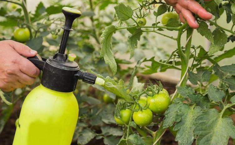 Обработка томатов от вершинной гнили