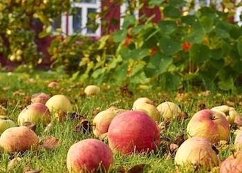 Что  делать с падалицей яблок, куда с пользой ее применить?