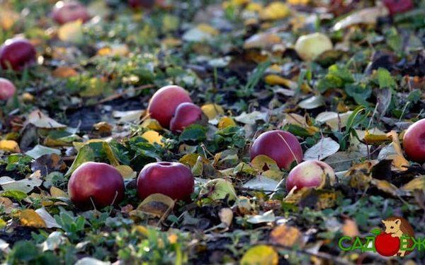 Почему опадают яблоки с яблони раньше поспевания и что делать?