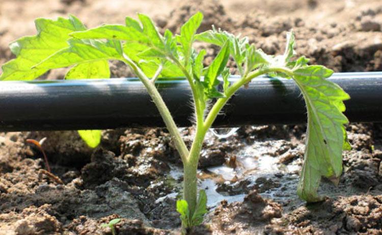 Капельный полив для помидоров