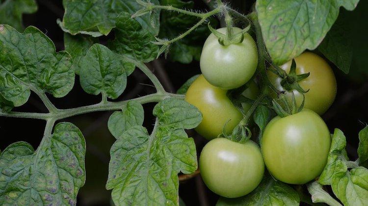 Йод для ускорения созревания томатов