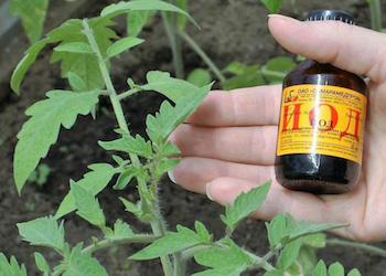Подкормка и опрыскивание помидоров йодом в августе