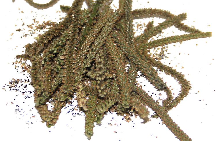 Заготовка семян подорожника