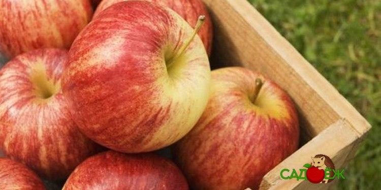 Как правильно хранить яблоки на зиму в домашних условиях и в погребе