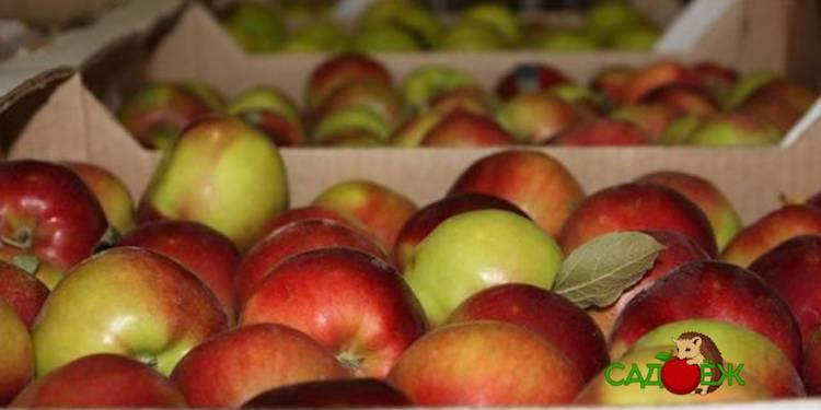 Как сохранить свежие яблоки на зиму в погребе