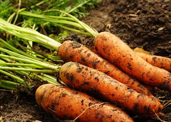 Как правильно обрезать ботву у моркови на хранение