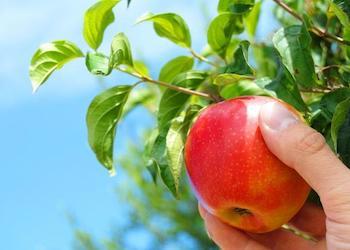 Когда собирать яблоки на хранение на зиму?
