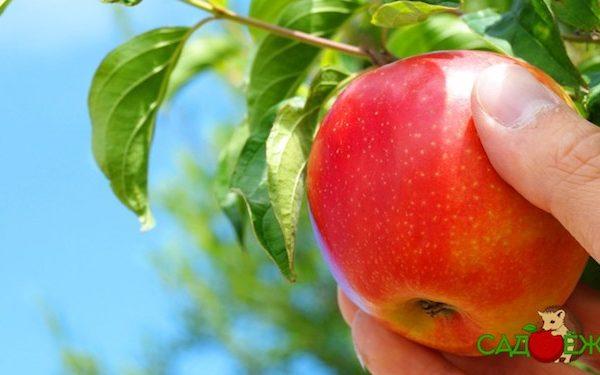Когда собирать яблоки на хранение?