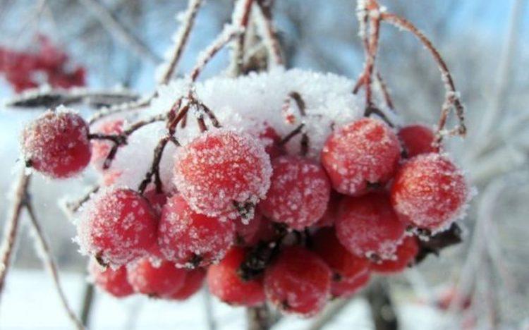 Красная рябина после заморозков