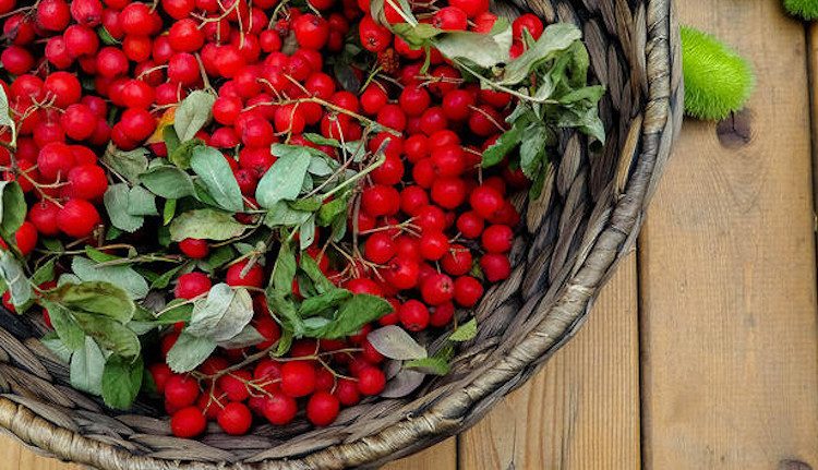 Лечебные свойства красной рябины