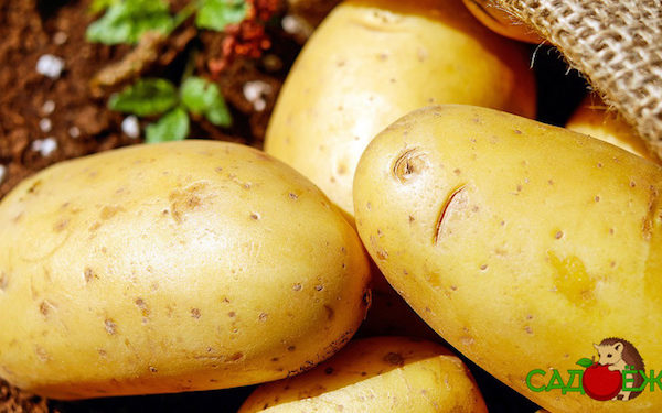 Можно ли мыть картофель перед хранением?