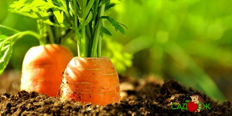 Надо ли обрезать ботву у моркови перед сбором урожая?