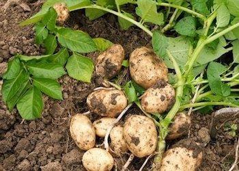 Обрезать ли ботву у картофеля перед уборкой урожая и зачем это делать?