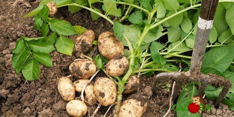 Обрезать ли ботву у картофеля перед уборкой урожая и когда это делать?