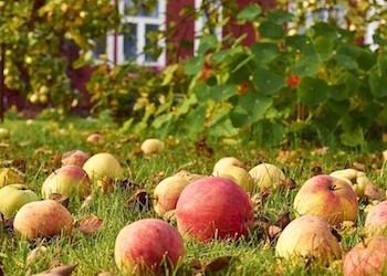 Что делать с падалицей яблок