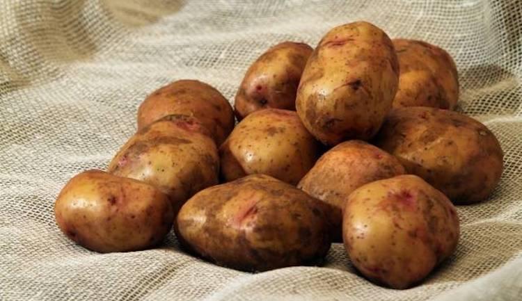 Просушка картофеля перед хранением