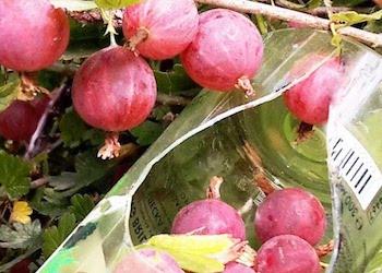Как сделать плодосъемник для фруктов и ягод своими руками?