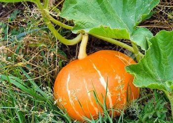 Как вырастить сладкую тыкву в огороде?