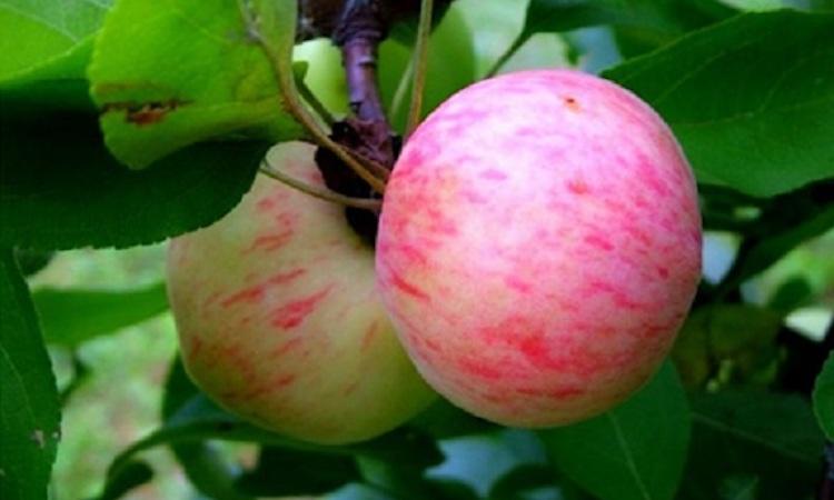 Яблоки Грушовка: когда собирать летние сорта яблок на хранение
