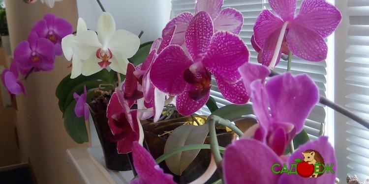 Подкормка орхидей чесноком с янтарной кислотой