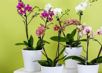 Как заставить цвести орхидею?