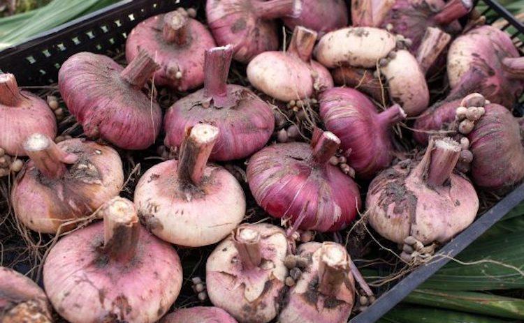Хранение луковиц гладиолусов в погребе