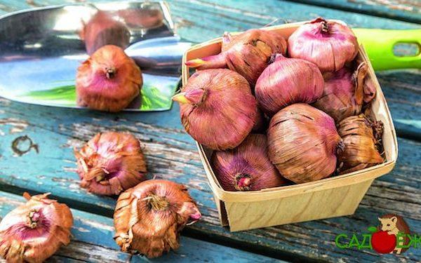 Хранение луковиц гладиолусов зимой в домашних условиях
