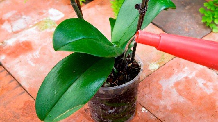 Полив орхидеи чесночной водой