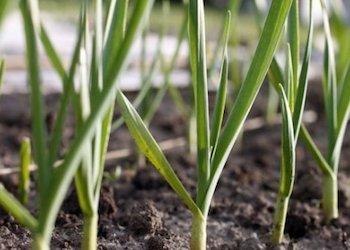 На какую грядку посадить озимый чеснок?