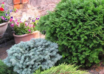 Какие хвойные растения посадить на даче?