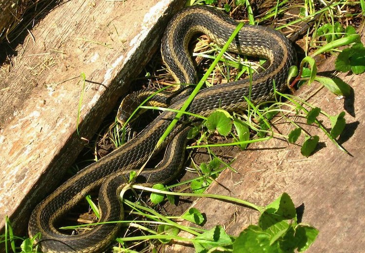 Как защитить дачный участок от змеи?
