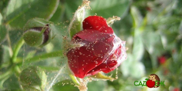 Паутинный клещ на комнатных розах: как бороться с вредителем