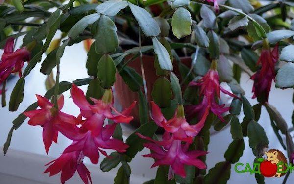 Почему не цветет декабрист и что делать, чтобы он цвел?