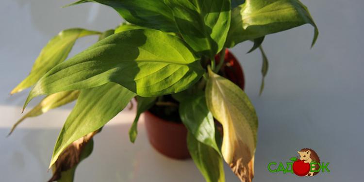 Почему у спатифиллума желтеют и сохнут листья?