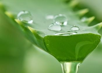 Польза сока алоэ для здоровья и в огороде