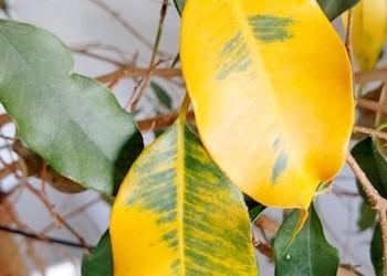 Почему желтеют и опадают листья у фикуса?