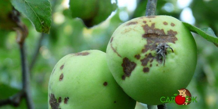 Как лечить паршу на яблоне весной?