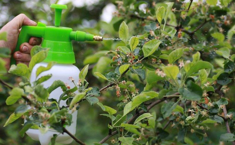 Борьба с паршой яблони весной
