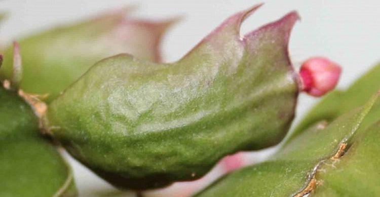 Краснеют кончики листьев декабриста
