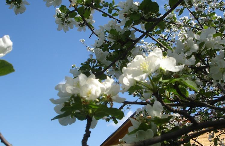Парша на яблоне весной