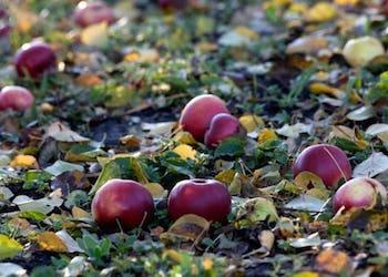 Почему опадают яблоки с яблони раньше времени и что делать?
