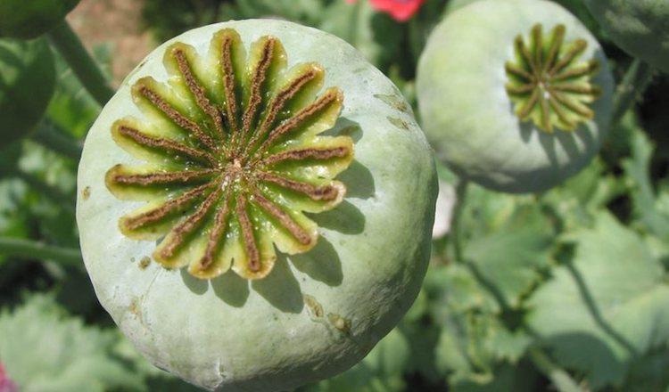 Выращивание опиумных сортов мака запрещено законом