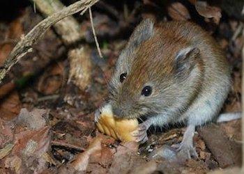 Как избавиться от мышей в компостной куче?
