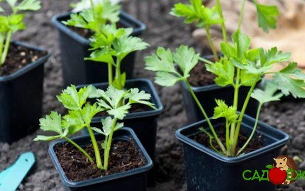 Посадка сельдерея на рассаду: как и когда производить посев сельдерея?