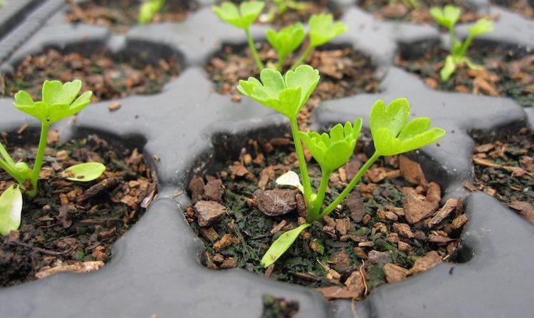 Как посадить сельдерей на рассаду