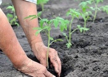 Что класть в лунку при посадке томатов?